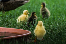 Four Baby Running Ducks In The Grass