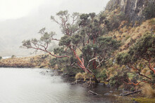 Old Tree Overhanging A Lake On A Foggy Rainy Day