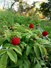 Boysenberry, Growing In The Ga...