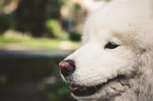 White Siberian Husky