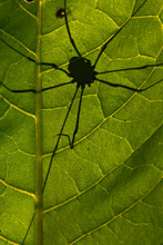 Daddy Longlegs Spider Silhouette On Sunlit Leaf