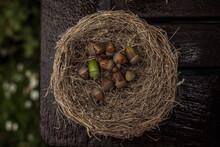 Acorns In A Nest