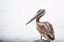 Large Pelican Sitting On A Rock Looking Out To Sea