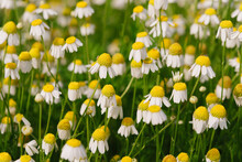 Close Up Of Field Of Yellow And White Daisies