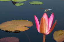 A Blue Dasher Dragonfly Perched On A Waterlily Bud
