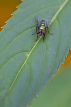 A Fly On A Leaf