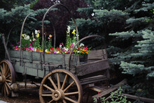 Flowers Planted In Old (Un)Covered Wagon