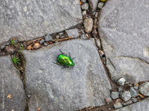 Valokuvatapetti Green rose chafer beetle crawling along cobbled road