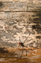 Daddy Longlegs On A Rough Wood Background