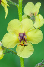 Yellow Moth Mullein Flower With Hoverfly