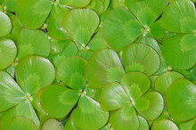 Aquatic Four-Leaf Clover Floating On Water's Surface