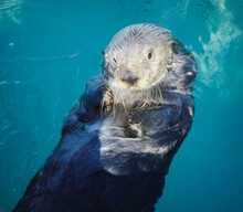 Cute Sea Otter Floating On His...