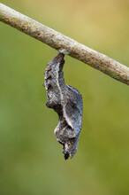 Gulf Fritillary Butterfly Chrysalis