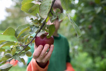 Child In An Apple Orchard Picks A Fresh Red Apple From A Tree