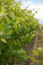 Close Up Of Grape Vine