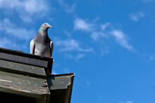 Pigeon Closeup On A Rooftop