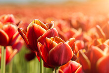Dutch Red Tulips Close Up