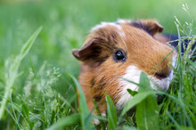 Pet Calico Guinea Pig Grazes In The Grass Of His Owner's Backyard