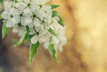 Close Up Of Cherry Blossoms In...