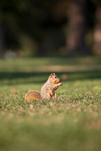 Eastern Fox Squirrel Eating