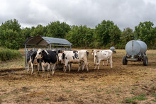 Cows On Outdoor Farm. Cows Eat...