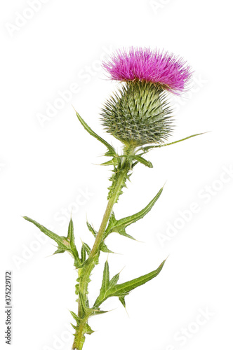Spear thistle isolated Canvas Print