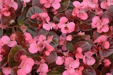 Floral Background Of Pink Bego...