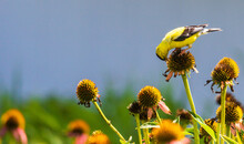 Male Goldfinch Eating Coneflower Seeds