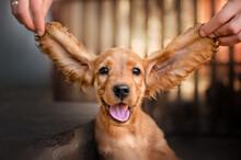 English Cocker Spaniel Dog Cut...