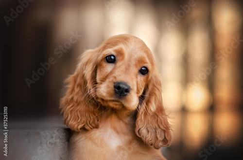 english cocker spaniel dog cute puppy lovely portrait magic light sunset orange