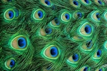 Colorful Peacock Feathers Textured Pattern Background