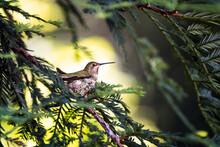 Hummingbird Nesting In A Pine ...