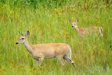 Deer And Its Fawn In The Grass.