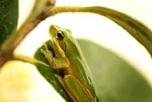 Tiny Green Frog In Macro