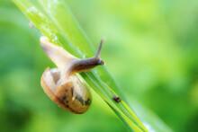 Snails On Leaf.