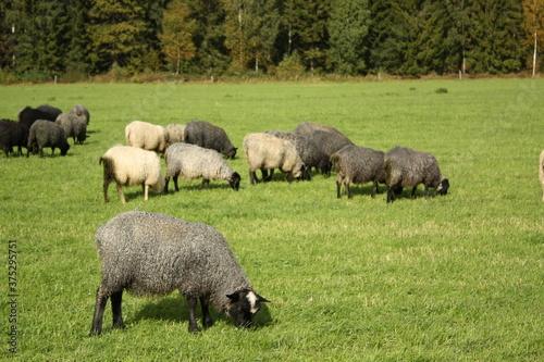 Photo スウェーデンの羊