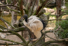 Closeup Of An African Sacred Ibis Perched On The Tree Branch In The Zoo Of Osnabruck