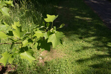 Summer Foliage Of A Hybrid Tul...