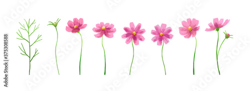 Isolated vector illustration of pink cosmos flowers Canvas Print