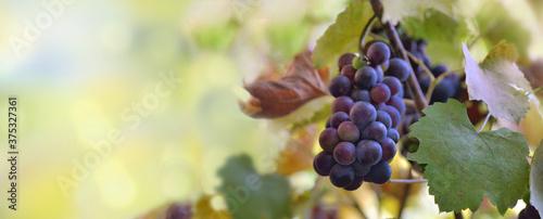 Fototapeta panoramic view on a black grapes growing in vineyard obraz