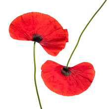 Two Fresh  Red Poppies, Close Up