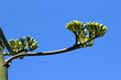 canvas print picture - agave americana