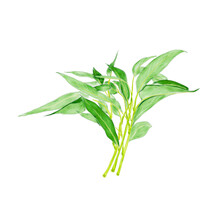 Watercolor Illustration Of Water Spinach, A Common Vegetable In China, Isolated On White Background.