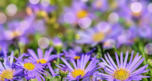 Group Of Beautiful And Colorful Asters With Soft Focus Bokeh.