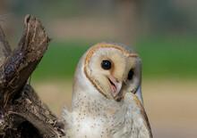 Barn Owl, Dusky Eagle Owl, And...