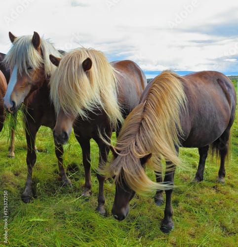 Three Icelandic horses on the fjord Wallpaper Mural