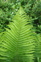 The Tip Of A Large Green Fern...