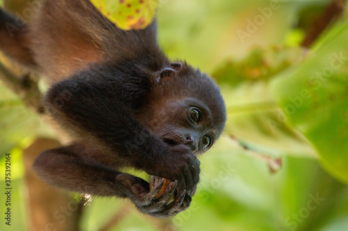 Baby Mantled Howler Monkey in a tree eating fruit Canvas Print