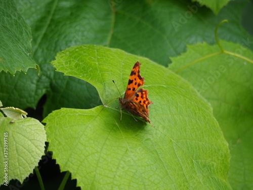 vista lateral y superior de una mariposa de color naranja y negro, cuatro patas Fotobehang