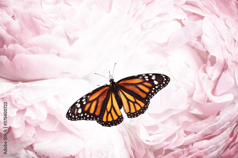 Fototapeta Amazing monarch butterfly on beautiful flowers, closeup